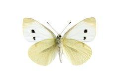 Mariposa - blanco de col Foto de archivo
