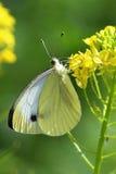 Mariposa - blanco grande (brassicae del pieris) en las flores amarillas Fotografía de archivo