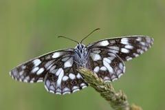 Mariposa blanco y negro Foto de archivo libre de regalías