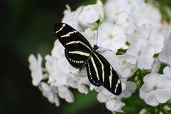Mariposa blanco y negro de Longwing de la cebra en los flores blancos Fotografía de archivo