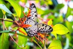 Mariposa blanco y negro en las hojas Foto de archivo