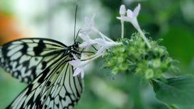 Mariposa blanco y negro en una flor que recoge el néctar Imagen de archivo