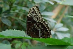 Mariposa blanco y negro en una hoja Foto de archivo
