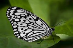 Mariposa blanco y negro en una hoja verde Foto de archivo libre de regalías