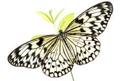 Mariposa blanco y negro (idea Leuconoe) en blanco Imagenes de archivo