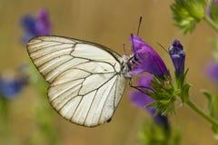 Mariposa blanco y negro que chupa el néctar Imagenes de archivo