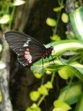 Mariposa bonita Imagen de archivo