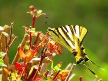 Mariposa bonita fotos de archivo