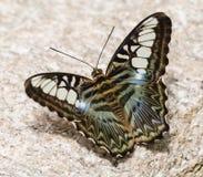 Mariposa bonita en Tucson imagen de archivo