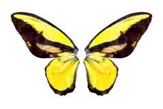 Mariposa brillante de Yelow Fotos de archivo