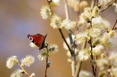 Mariposa brillante en un sauce floreciente Foto de archivo libre de regalías
