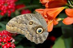 Mariposa-buho (eurilochus del caligo) en la flor anaranjada Foto de archivo libre de regalías