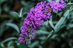 Mariposa Bush Fotos de archivo