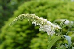Mariposa-Bush blanco Foto de archivo libre de regalías
