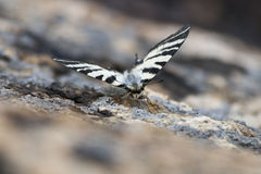 Mariposa camuflada Foto de archivo