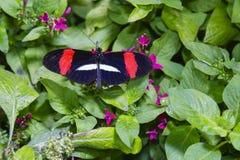 Mariposa carmesí de Longwing con la extensión de las alas Foto de archivo