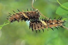 Mariposa catterpillar Imagen de archivo