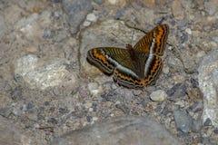 Mariposa cepillo-con base de Brown, blanca y anaranjada imágenes de archivo libres de regalías