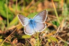 Mariposa coa alas hilo de araña azul imágenes de archivo libres de regalías