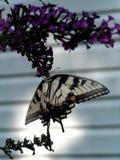 Mariposa colgante Foto de archivo libre de regalías