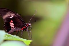 Mariposa color de rosa de Ccommon en la hoja Foto de archivo libre de regalías