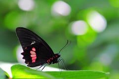 Mariposa color de rosa del campo común Foto de archivo