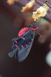 Mariposa color de rosa del campo común recién nacido Imagen de archivo libre de regalías