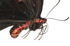 Mariposa color de rosa del campo común Fotos de archivo libres de regalías