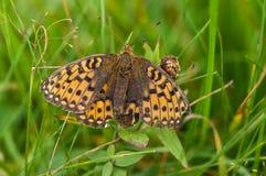 Mariposa coloreada Foto de archivo libre de regalías