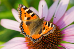 Mariposa coloreada en la flor Fotografía de archivo