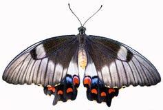 Mariposa coloreada multi de Swallowtail de la fruta cítrica Fotografía de archivo libre de regalías