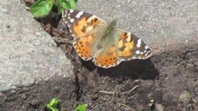 Mariposa colorida atractiva brillante a principios de verano en la reina Elizabeth Park Rose Garden almacen de video