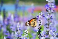 Mariposa colorida del primer en la flor púrpura fotografía de archivo