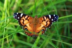 Mariposa colorida en hierba Fotos de archivo libres de regalías