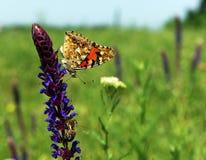 Mariposa colorida en la cima de la flor azul hermosa cerca Foto de archivo