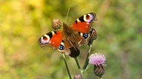 Mariposa colorida en la flor fotografía de archivo libre de regalías