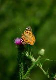 Mariposa colorida en la flor rosada Fotografía de archivo