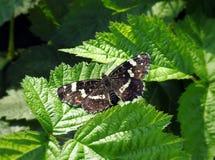 Mariposa colorida en la hoja verde, Lituania Foto de archivo libre de regalías