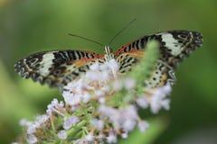 Mariposa colorida que alimenta en la flor Imagenes de archivo