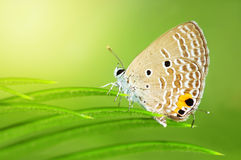 Mariposa común de Caerulean (celeno de Jamides) Fotografía de archivo