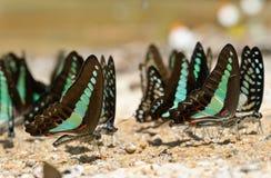 Mariposa común del bluebottle Foto de archivo libre de regalías
