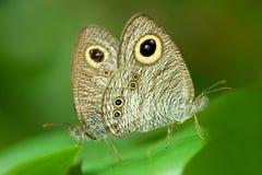 Mariposa común del Cinco-anillo Fotos de archivo