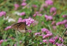 Mariposa común del cuervo en las flores rosadas Fotos de archivo libres de regalías