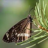 Mariposa común del cuervo en una rama de la conífera Fotos de archivo