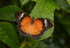 Mariposa común del Lacewing presentada en una flor fotos de archivo libres de regalías