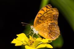 Mariposa común del leopardo Imagen de archivo