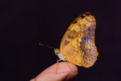 Mariposa común del leopardo Fotografía de archivo