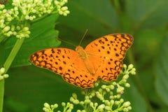 Mariposa común del leopardo, phalantha de Phalanta, colonia de la leche de Aarey Imagen de archivo