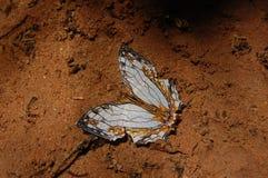 Mariposa común del Mapa-ala Fotografía de archivo