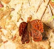 Mariposa común del punchinello en la tierra Foto de archivo